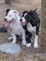 American Pit Bull Terrier Puppies for sale in Palm Bay, FL, USA. price: NA