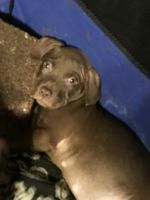 American Pit Bull Terrier Puppies for sale in Jacksonville, NC, USA. price: NA