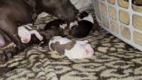 American Pit Bull Terrier Puppies for sale in Hazel Park, MI 48030, USA. price: NA