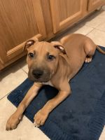 American Pit Bull Terrier Puppies for sale in NO BRENTWOOD, MD 20722, USA. price: NA