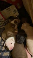 American Pit Bull Terrier Puppies for sale in Princeton, IL 61356, USA. price: NA