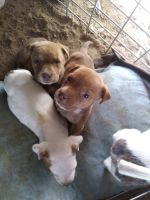 American Pit Bull Terrier Puppies for sale in Fort Worth, TX, USA. price: NA