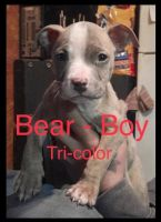 American Pit Bull Terrier Puppies for sale in Norman, OK, USA. price: NA