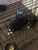 American Pit Bull Terrier Puppies for sale in Tempe, AZ, USA. price: NA