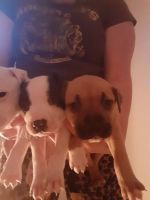 American Pit Bull Terrier Puppies for sale in Post, TX 79356, USA. price: NA