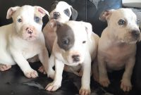 American Pit Bull Terrier Puppies for sale in Covington, GA, USA. price: NA