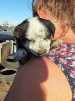 American Pit Bull Terrier Puppies for sale in Wittmann, AZ 85361, USA. price: NA