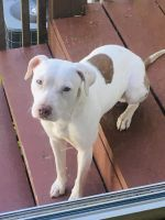American Pit Bull Terrier Puppies for sale in Birmingham, AL, USA. price: NA