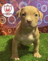 American Pit Bull Terrier Puppies for sale in Largo, MD 20774, USA. price: NA