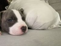 American Pit Bull Terrier Puppies for sale in Providence Rd, Charlotte, NC, USA. price: NA