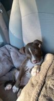 American Pit Bull Terrier Puppies for sale in Cincinnati, OH, USA. price: NA