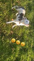 American Pit Bull Terrier Puppies for sale in New York, NY, USA. price: NA