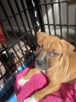 American Pit Bull Terrier Puppies for sale in Pittsburgh, PA 15221, USA. price: NA