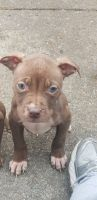 American Pit Bull Terrier Puppies for sale in Hazelwood, MO, USA. price: NA