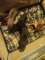 American Pit Bull Terrier Puppies for sale in Tulsa, OK, USA. price: NA