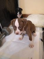 American Pit Bull Terrier Puppies for sale in St James, MO 65559, USA. price: NA