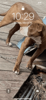 American Pit Bull Terrier Puppies for sale in Dearborn Heights, MI, USA. price: NA