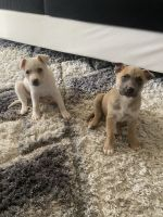 American Pit Bull Terrier Puppies for sale in Euless, TX, USA. price: NA