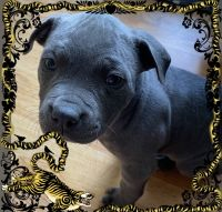 American Pit Bull Terrier Puppies for sale in Bellflower, CA 90706, USA. price: NA