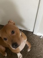 American Pit Bull Terrier Puppies for sale in College Park, GA, USA. price: NA