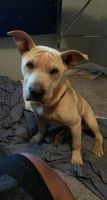 American Pit Bull Terrier Puppies for sale in Locust Grove, GA, USA. price: NA
