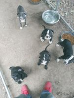 American Pit Bull Terrier Puppies for sale in Houston, TX 77087, USA. price: NA