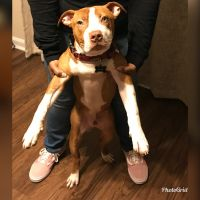 American Pit Bull Terrier Puppies for sale in Spring Hill, TN, USA. price: NA