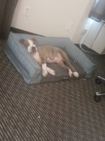 American Pit Bull Terrier Puppies for sale in Dallas County, TX, USA. price: NA