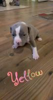 American Pit Bull Terrier Puppies for sale in Round Mountain, NV 89045, USA. price: NA