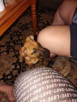 American Pit Bull Terrier Puppies for sale in Midwest City, OK, USA. price: NA