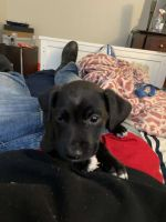 American Pit Bull Terrier Puppies for sale in Temecula, CA, USA. price: NA