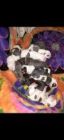 American Pit Bull Terrier Puppies for sale in Toledo, OH 43607, USA. price: NA