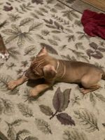 American Pit Bull Terrier Puppies for sale in Cut Bank, MT 59427, USA. price: NA