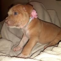 American Pit Bull Terrier Puppies for sale in Illinois City, IL 61259, USA. price: NA
