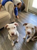 American Pit Bull Terrier Puppies for sale in Washington, D.C., DC, USA. price: NA