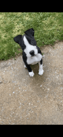 American Pit Bull Terrier Puppies for sale in St. Louis, MO, USA. price: NA