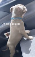 American Pit Bull Terrier Puppies for sale in 1050 Federal Rd, Houston, TX 77015, USA. price: NA