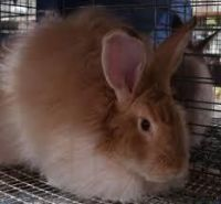 American Sable rabbit Rabbits for sale in Los Angeles, CA, USA. price: NA