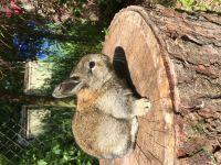 American Sable rabbit Rabbits Photos