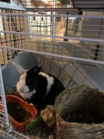 American Sable rabbit Rabbits for sale in Morrisville, NC, USA. price: NA