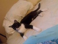 American Shorthair Cats for sale in Tonopah, AZ 85354, USA. price: NA