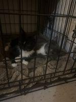 American Shorthair Cats for sale in Okeene, OK 73763, USA. price: NA