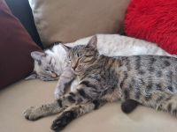 American Shorthair Cats for sale in San Antonio, TX, USA. price: NA