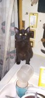 American Shorthair Cats for sale in Thurston County, WA, USA. price: NA