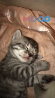 American Shorthair Cats for sale in Maplewood, NJ, USA. price: NA