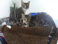 American Shorthair Cats for sale in Bastrop, TX 78602, USA. price: NA
