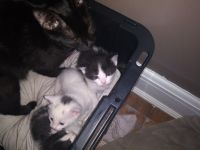 American Shorthair Cats for sale in Charleston, WV 25387, USA. price: NA