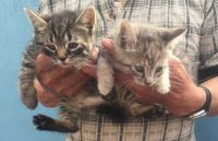 American Shorthair Cats for sale in Corona, Queens, NY, USA. price: NA