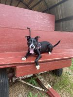 American Staffordshire Terrier Puppies for sale in Newark, NJ 07103, USA. price: NA