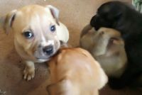 American Staffordshire Terrier Puppies for sale in Lockeford, CA, USA. price: NA